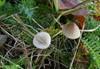 Brunægget Huesvamp (Mycena olivaceomarginata)