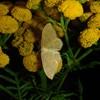 Vinkelstreget Løvmåler (Idaea aversata)