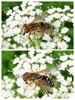 Parhelophilus sp. (Parhelophilus sp.)