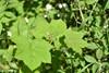 Nukta-Brombær (Rubus parviflorus)