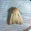 Kommaugle (Leucania comma)