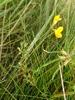 Smalbladet Kællingetand (Lotus tenuis)