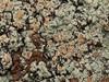 Randfliget Kantskivelav (Protoparmeliopsis muralis)