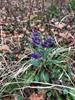 Storbladet Lungeurt (Pulmonaria saccharata)