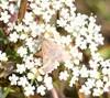 Pyrausta despicata (Pyrausta despicata)