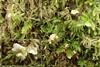 Lille Fontænehat (Arrhenia retiruga)