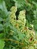 Vinge-Pileurt (Fallopia dumetorum)