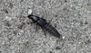 Quedius curtipennis (Quedius curtipennis)
