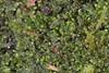 Foto/billede af Calypogeiaceae - Calypogeiaceae