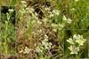 Flerårig Knavel (Scleranthus perennis)