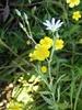 Kær-Fladstjerne (Stellaria palustris)