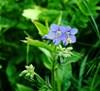 Jakobsstige (Polemonium caeruleum)