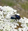 Protocalliphora azurea (Protocalliphora azurea)