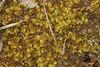 Kær-Tveblad (Scapania irrigua)
