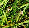 Høst-Rødtop (Odontites vulgaris)
