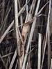 Tagrørglasmide (Steneotarsonemus phragmitidis)