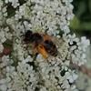 Foto/billede af Gravebier - Andrenidae