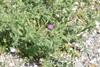 Tornet Tidsel (Carduus acanthoides)