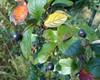 Cotoneaster villosulus (Cotoneaster villosulus)
