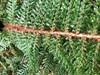 Børste-Skjoldbregne (Polystichum setiferum)