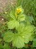 Amerikansk Nellikerod (Geum macrophyllum)