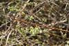 Krybende Pil (Salix repens ssp. repens var. repens)