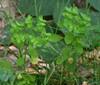 Foto/billede af Vortemælkfamilien - Euphorbiaceae