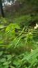 Asiatisk Balsaminbladlus (Impatientinum asiaticum)