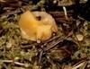 Mose-Børstebæger (Humaria velenovskyi)