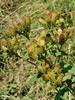 Trekløft-Alant (Inula conyzae)
