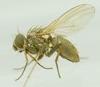 Coenosia pumila (Coenosia pumila)