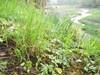 Foto/billede af Slangetungefamilien - Ophioglossaceae