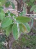 Dunet Gedeblad (Lonicera xylosteum)