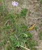 Foto/billede af Kartebollefamilien - Dipsacaceae