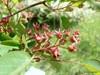 Almindelig Bærmispel (Amelanchier lamarckii)