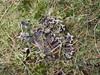 Mat Skjoldlav (Peltigera malacea)