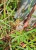 Lyng-Silke (Cuscuta epithymum ssp. epithymum)