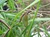 Smuk Svømmedøgnflue (Siphlonurus aestivalis)