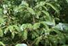Sitka-Gran (Picea sitchensis)