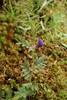 Smalbladet Vikke (Vicia sativa ssp. nigra)
