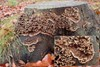 Tvefarvet Filtskind (Laxitextum bicolor)