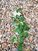 Ontarisk Poppel (Populus balsamifera var. gileadensis)