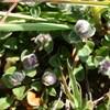 Aceria thomasi (Aceria thomasi)