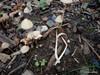 Kegle-Hjulhat (Parasola conopilus)