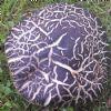 Avnbøg-Skælrørhat (Leccinum pseudoscabrum)
