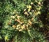 Cypres-Vortemælk (Euphorbia cyparissias)