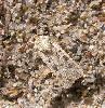 Sandugle (Euxoa cursoria)