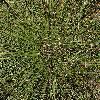 Vestlig Kær-Tuekogleaks (Trichophorum cespitosum ssp. germanicum)
