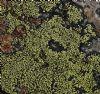 Krave-Landkortlav (Rhizocarpon lecanorinum)