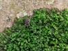 Lille Skovmejer (Oligolophus tridens)